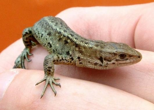 Tunnel design helps the Common Lizard
