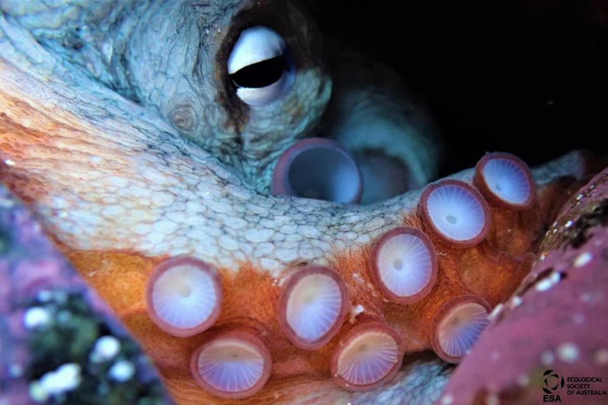 Peter Salt was short-listed in the Animals sub-category for this shot of a common Sydney octopus