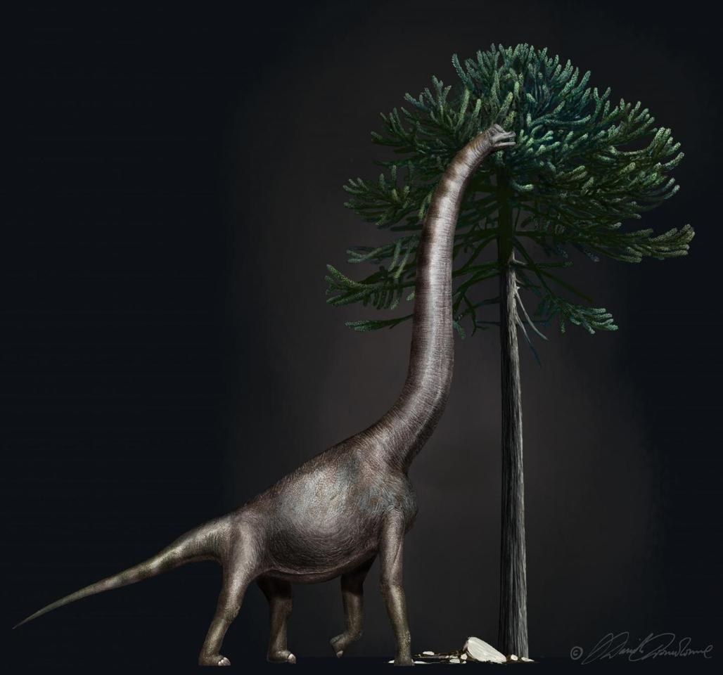 This illustration shows a Brachiosaurus eating from an Araucaria tree