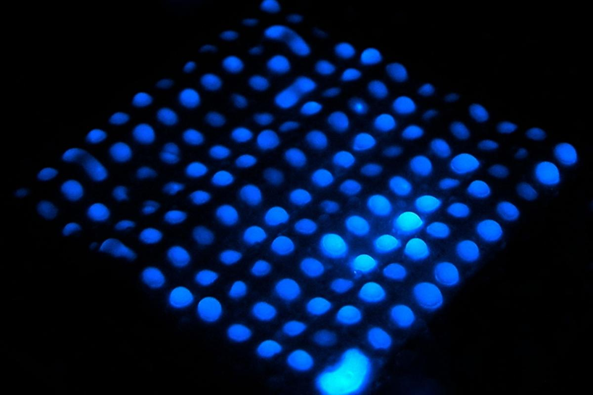 One of the microfluidic paper test strips, fluorescing blue to indicate the presence of hemoglobin (Photo: Birck Nanotechnology Center, Purdue University)