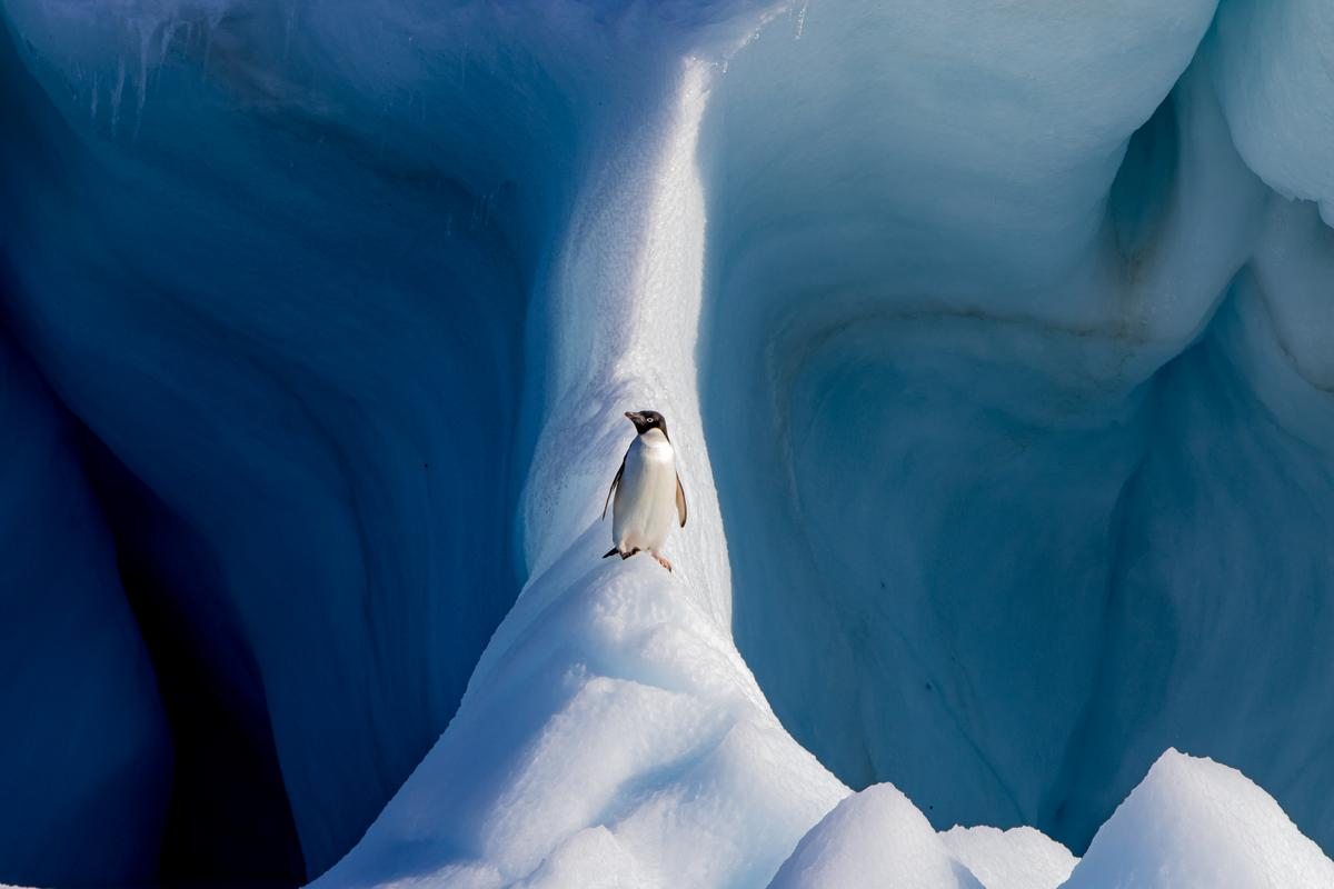 "Finalist, Natural World. ""Adelie Penguin on an Iceberg"""