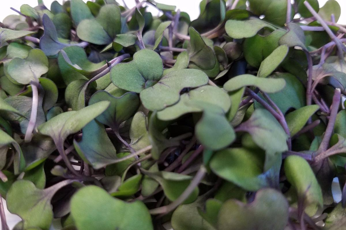 """In amouse study, red cabbage microgreens helped lower """"bad"""" cholesterol, weight gain and blood pressure in animals on a high fat diet"""
