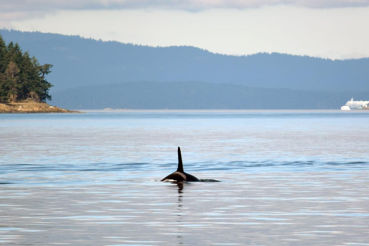 A Southern Resident Killer Whale surfaces in British Columbia