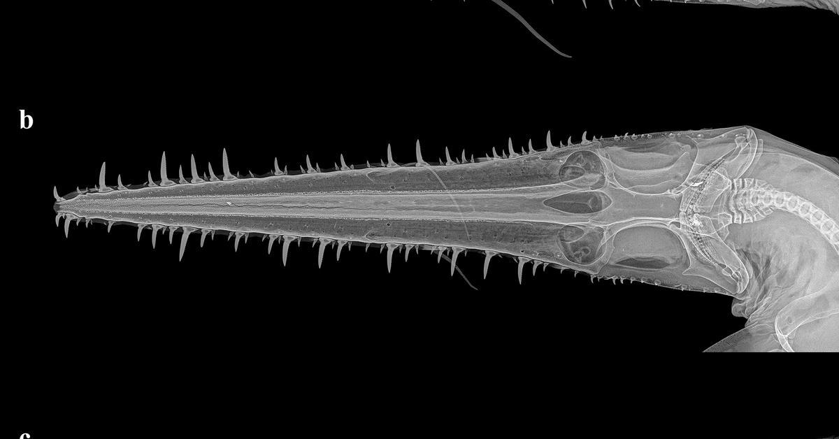 A radiograph of Pliotrema annae