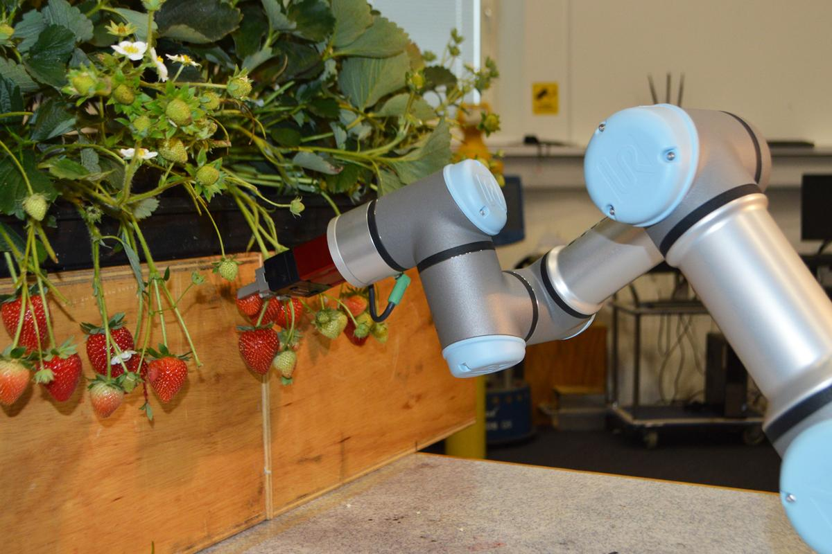 The new robot is designed to ease labor shortages on British strawberry farms