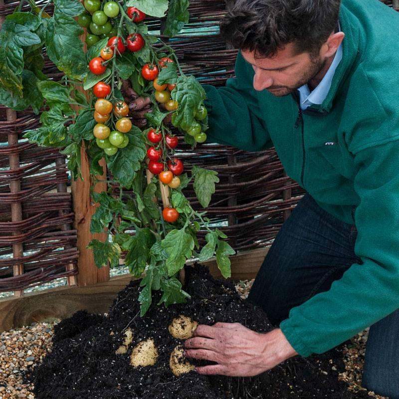 One TomTato plant can reportedly produce up to 500 tomatoes and 2 kg (4.4 lb) of potatoes in one season
