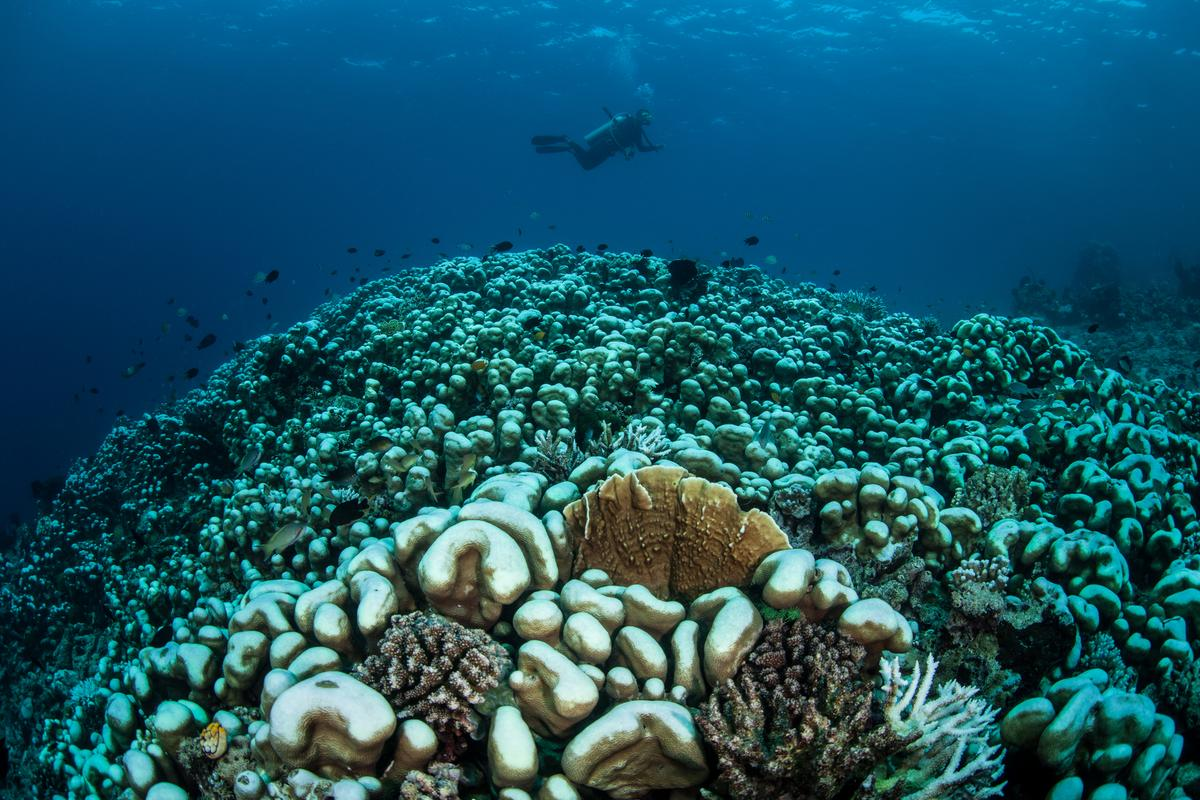 Scientists have identified a gene that encodes for a protein that helps coral regulate their response to heat stress