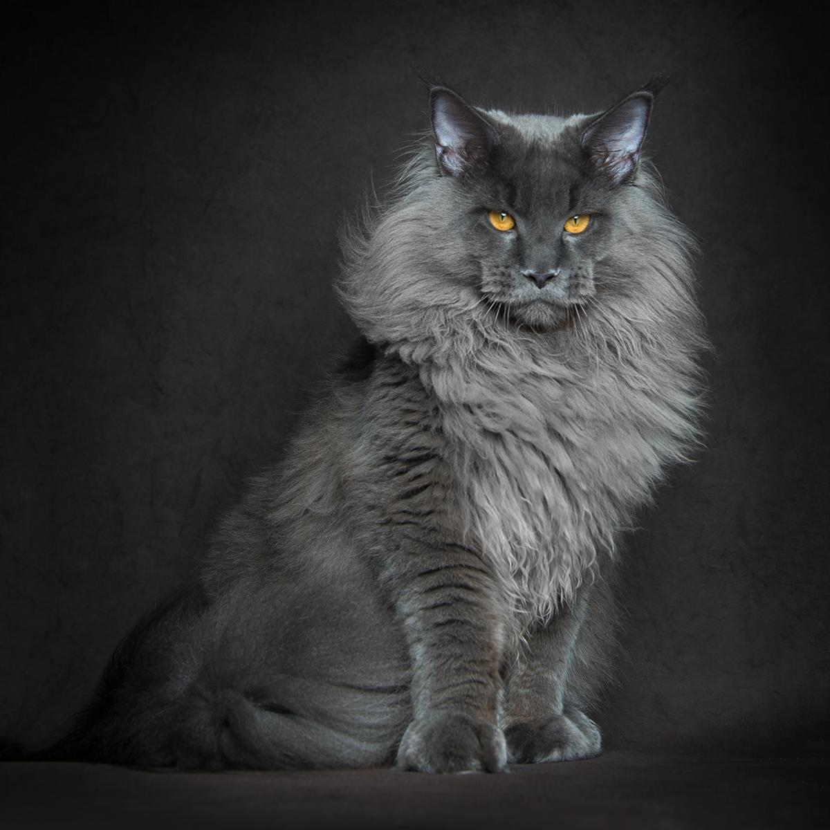 Winner of 3rd place in the Professional Wildlife/Animals category: Robert Sijka - Blue Lion. A majestic young Maine Coon cat male