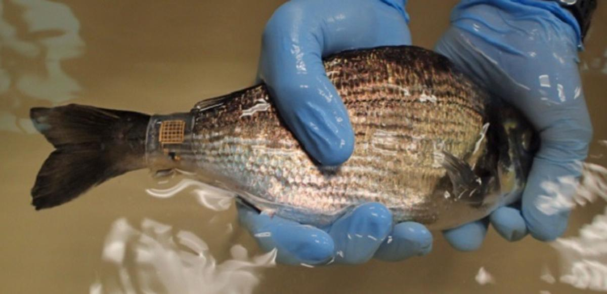 The new version of Marine Skin can be glued directly to the animal's skin, or it can be wrapped around their body like a bracelet