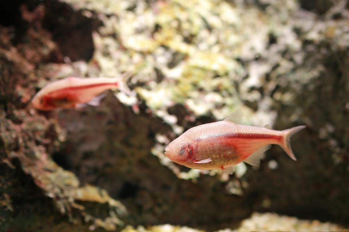 The blind, cave-dwelling variant of the Astyanax Mexicanus tetra