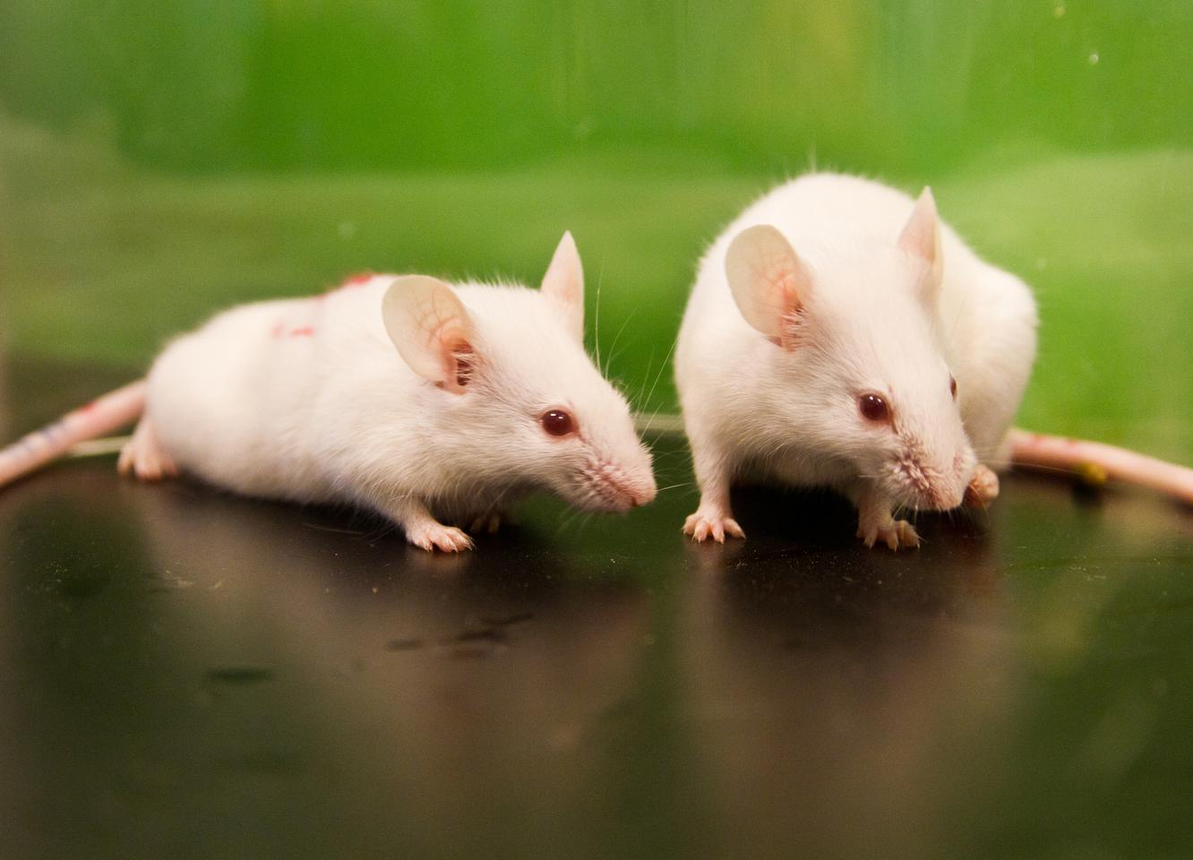 Research has found mice lacking certain gut bacteria displayed antisocial behaviors and high levels of a stress hormone