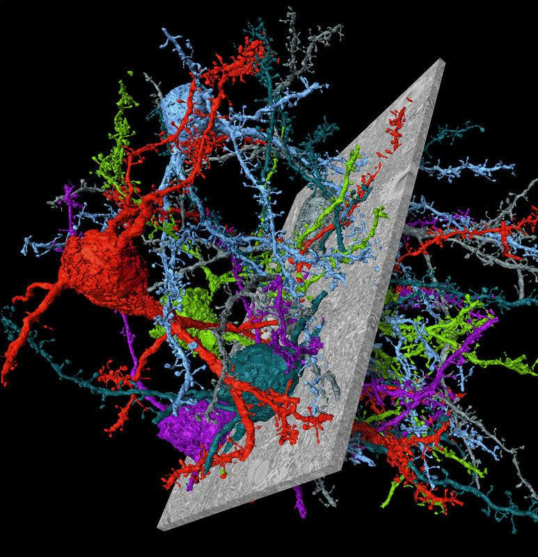 Nerve cells from mouse cerebral cortex reconstructed using the novel connectome analysis software SegEM. Electron microscopic images (gray) from which the nerve cells and their connections were reconstructed are also shown.