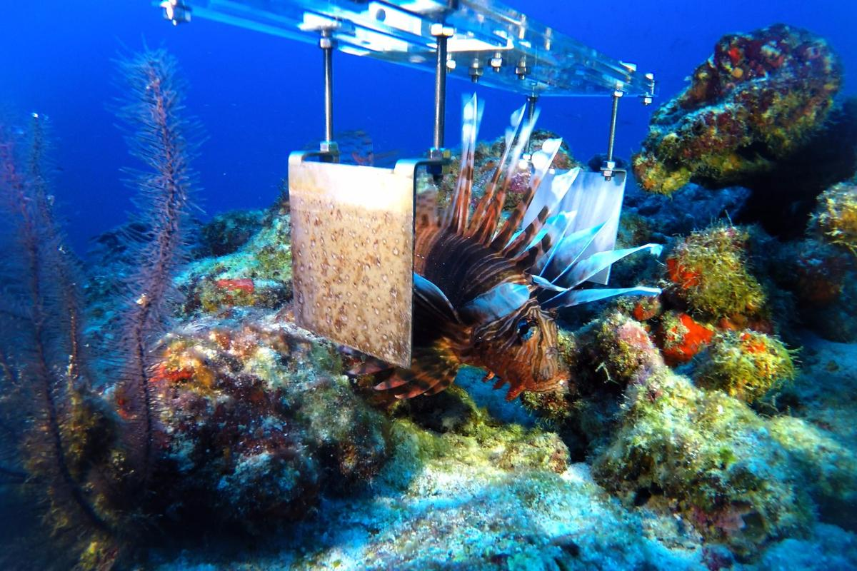 Lionfish with a prototype of the robot's stunner claw