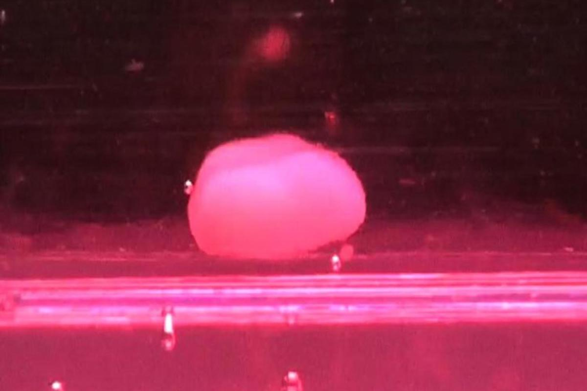 A three-day-old mini-liver, grown in a lab from human pluripotent stem cells
