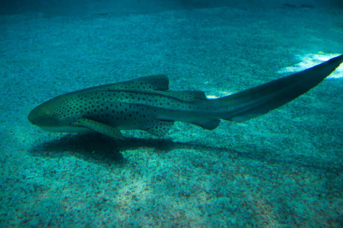 A leopard shark in an Australian aquarium has become the first of its kind to be observed switching between sexual and asexual reproduction