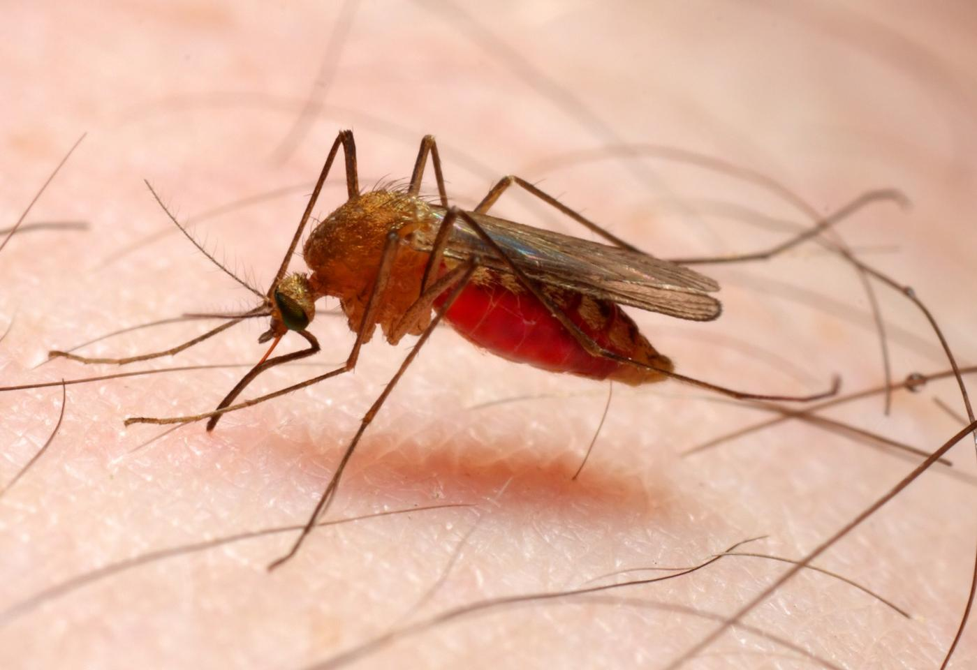 The bacteria that produce the toxin are believed to have evolved alongside the Anopheles mosquito