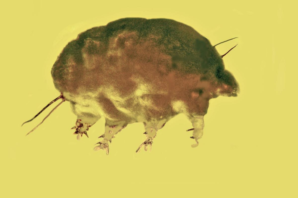 A mold pig, trapped in amber