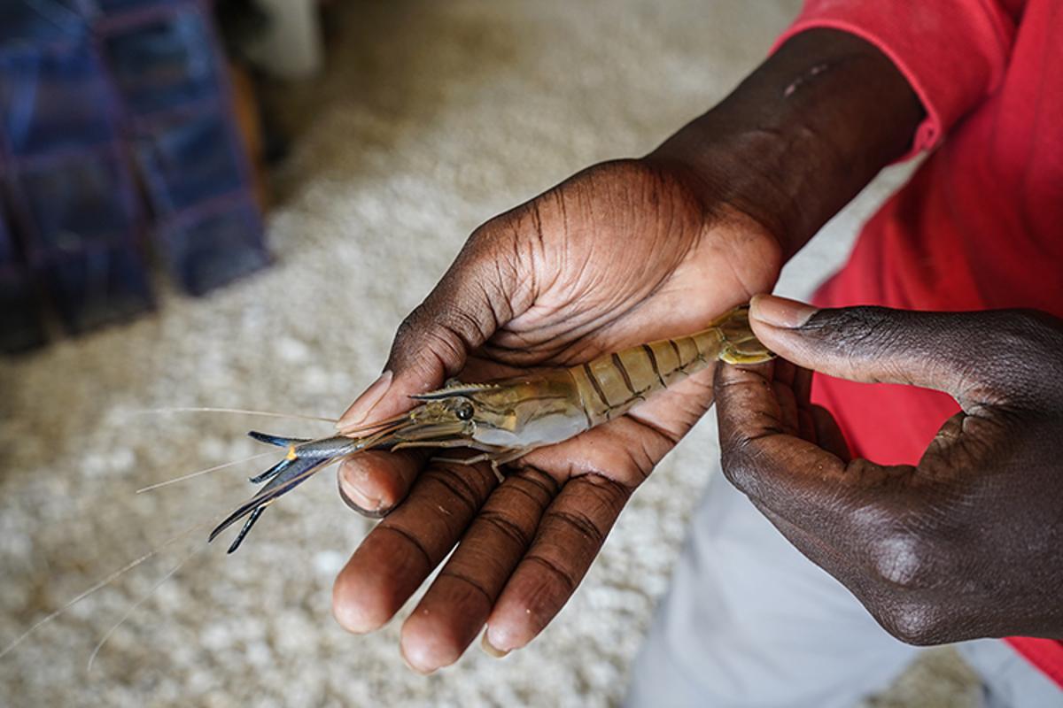 A Macrobrachium river prawn raised in a local hatchery in the Senegal River basin