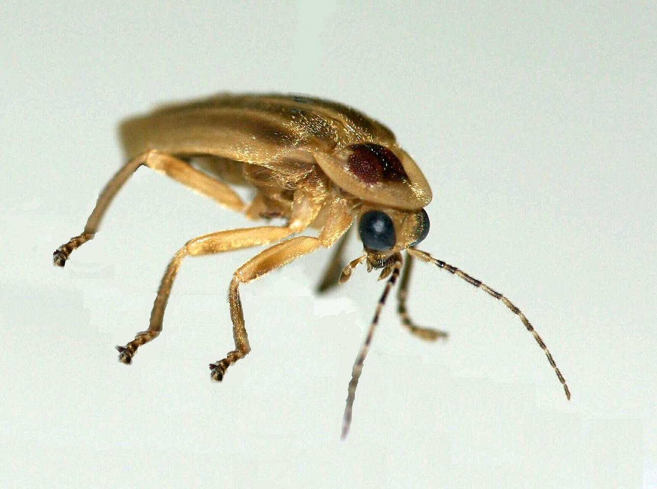 A Photuris firefly, which was the focus of the research (Photo: Optics Express)
