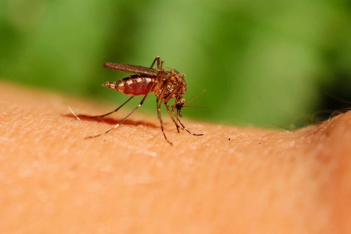 West Nile virus, Murray Valley encephalitis virus, and Ross River virus have all been detected in mosquito waste