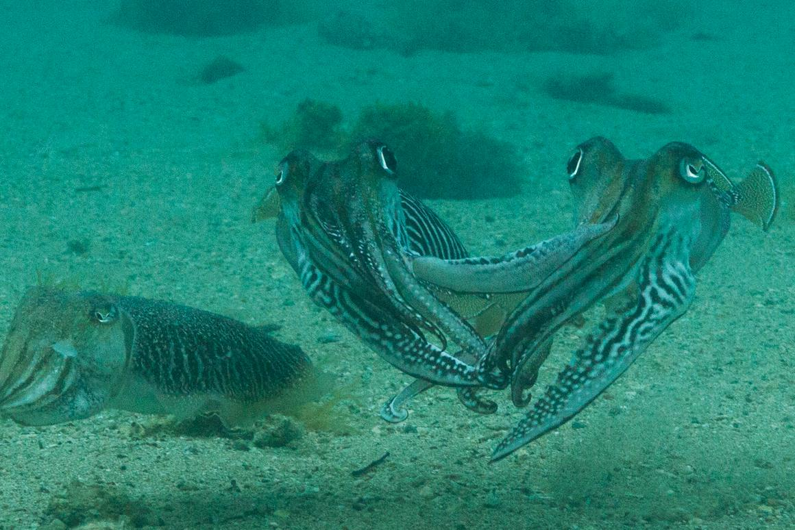 Hands off:for the first time, researchers have captured footage of how viciousmale cuttlefish can be when it comes to protecting their mate(left) from intruders