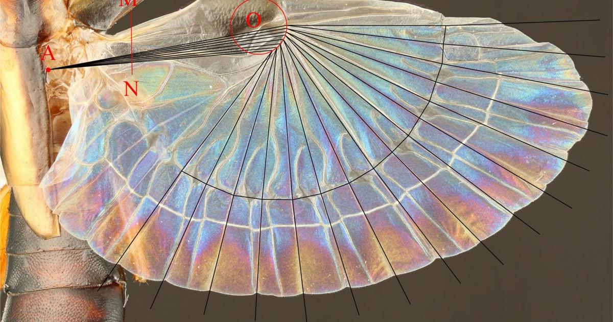 Earwig wings inspire new folding technology