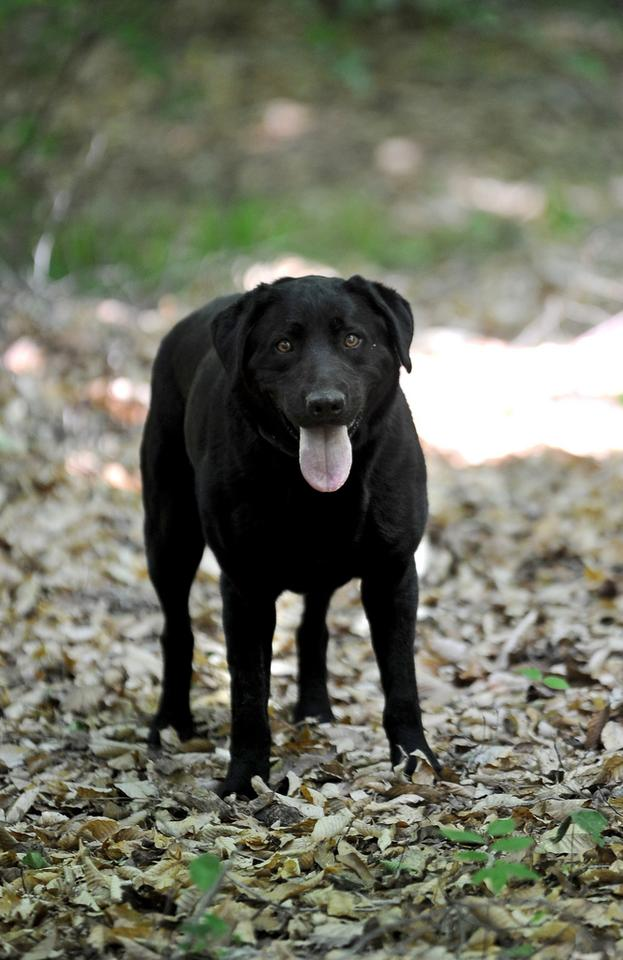 Bishop, a 3-year-old black Labrador retriever, is trained to find scat from striped skunks and black bears