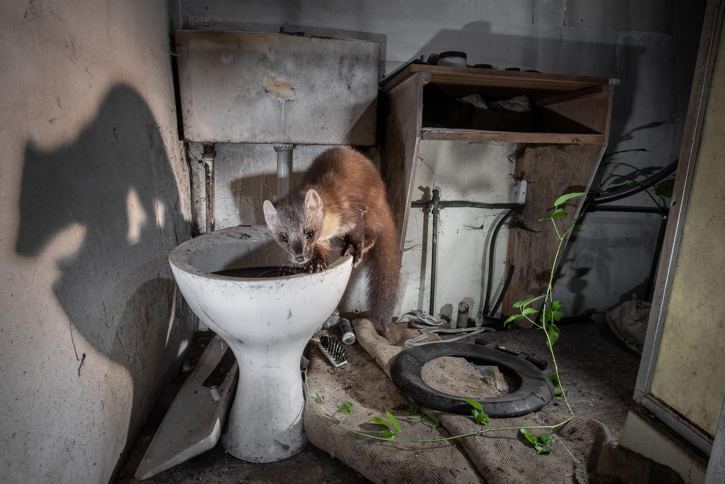 A pine marten investigates a toilet in an abandoned cottage in the Scottish Highlands