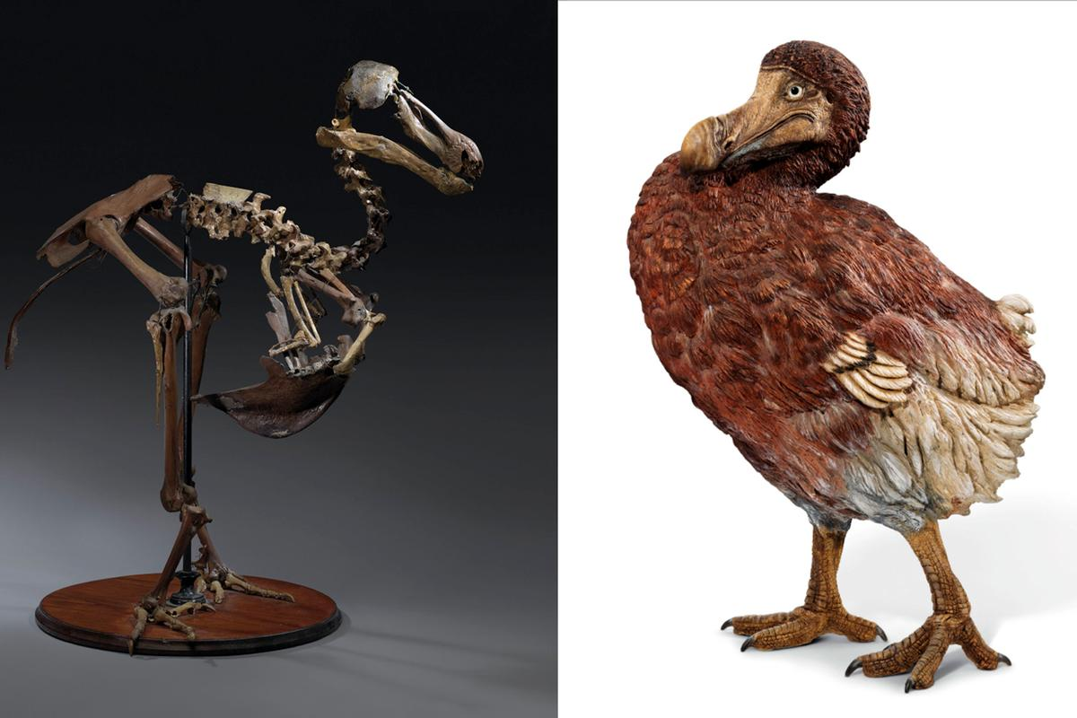 The only complete Dodo skeleton to have been assembled in the 19th century sold for $623,702 at Christie's