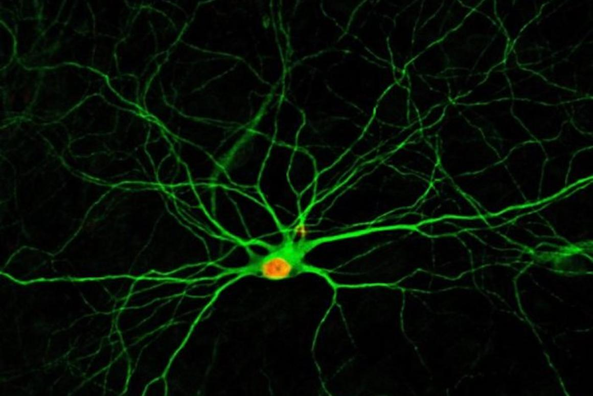 New neurons, four months after being converted from glial cells thanks to achemical formula developed atPenn State