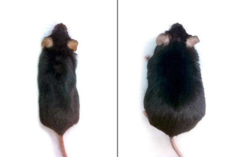 After eight weeks on a high-fat diet, mice that had been engineered with genes to activate the Hedgehog signaling pathway didn't gain weight (left), but control animals whose Hedgehog pathways were not activated became obese (right)