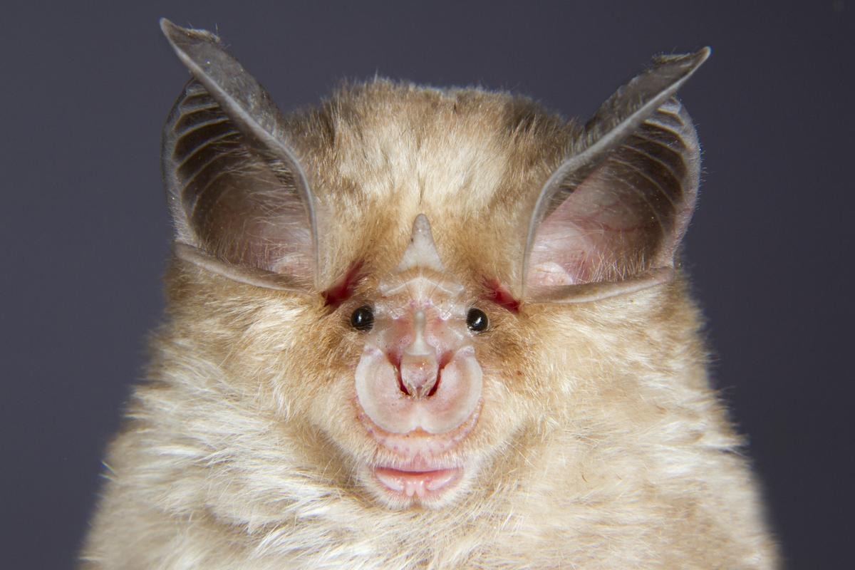 A horseshoe bat, with its clever nose and ears