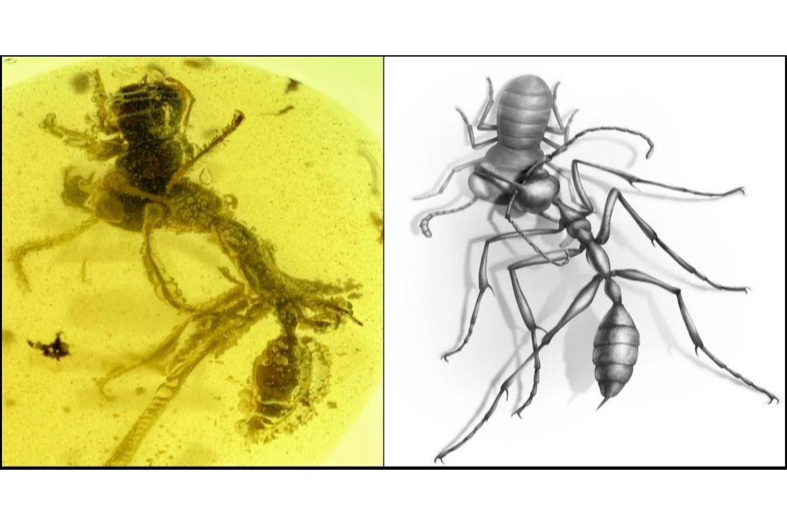 A 99-million-year-old fossil of a hell ant, preserved in amber, embracing an extinct relative of the cockroach