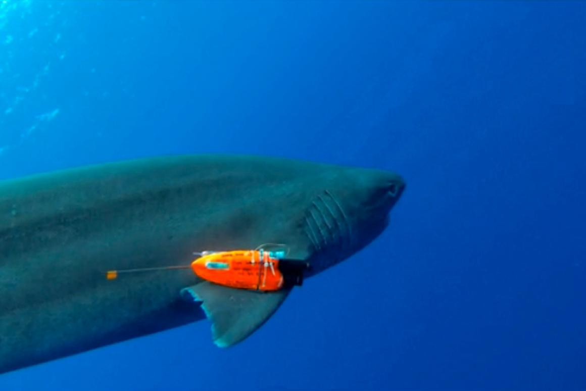 A six-gill shark sports one of the camera packs