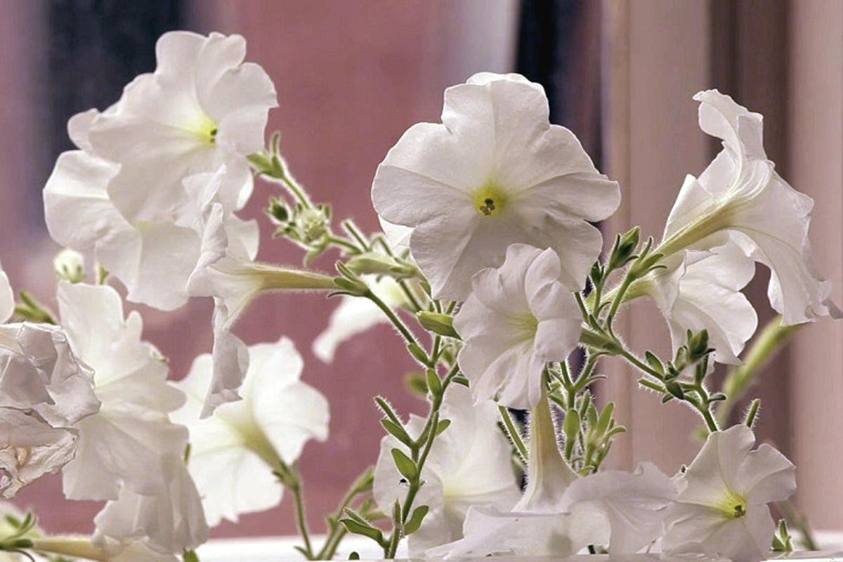 Revolution Biotechnology has modified a petunia to change color when watered with a dilute ethanol solution