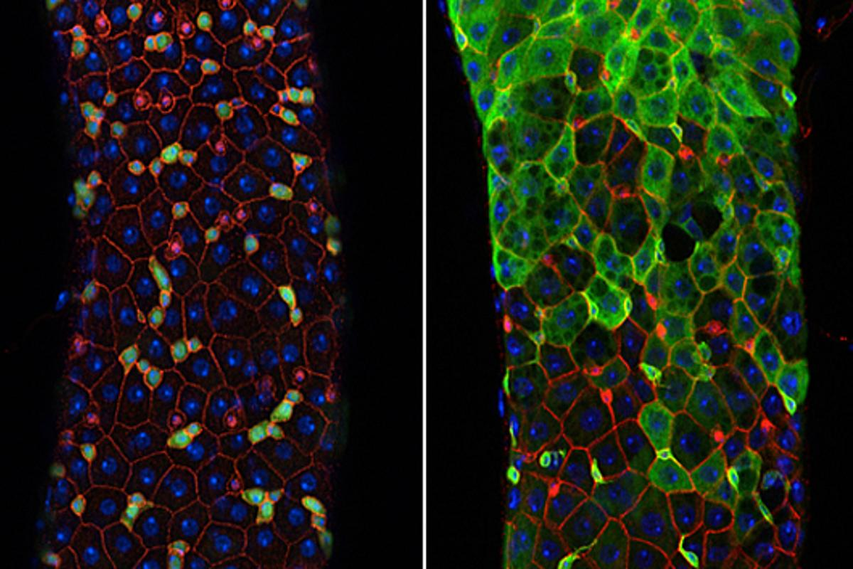 The even distribution of different cell types seen in the intestinal tissues of young fruit flies (left), breaks down as flies age (right) - researchers were able to delay this aging process by activating the dPGC-1 gene (Image: Salk Institute for Biological Studies)