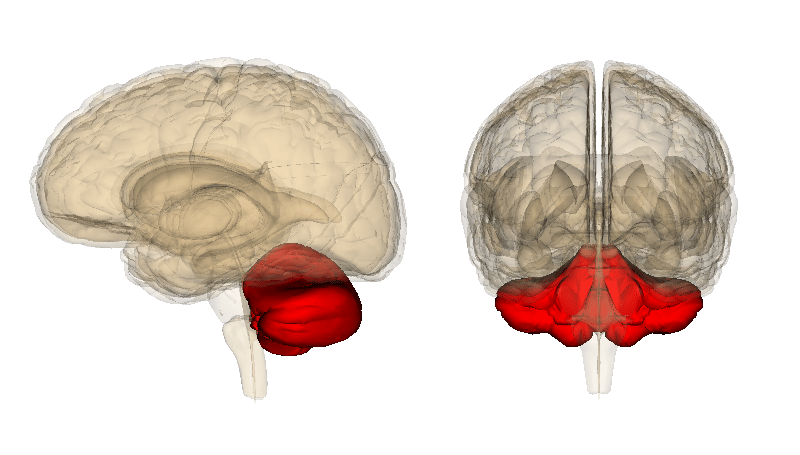 The cerebellum (in red) in a human brain (Image: Life Sciences Database)