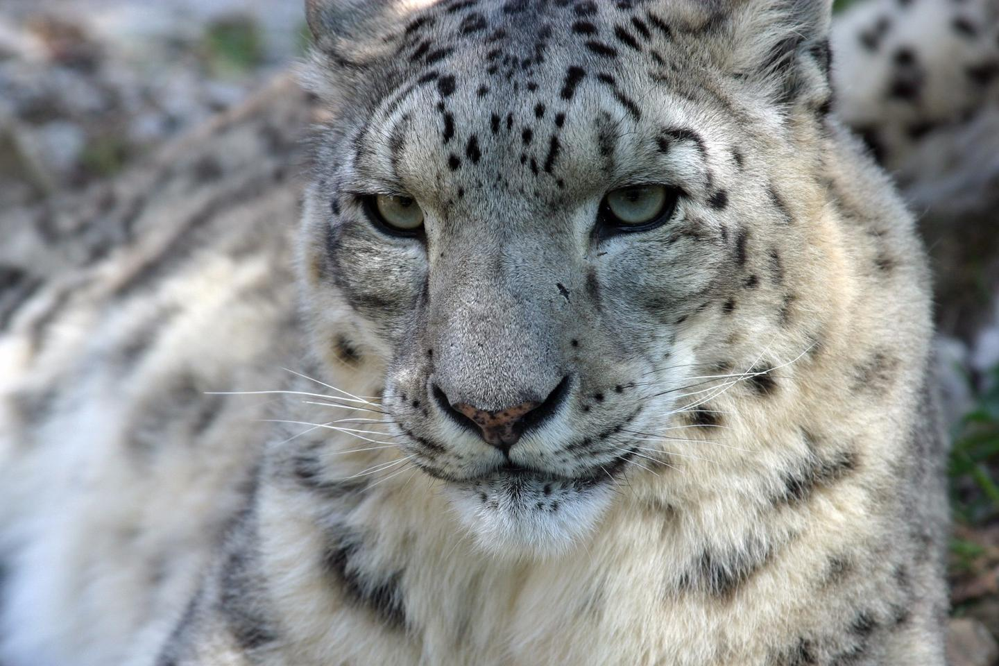 Studying snow leopard populations in the past has been problematic