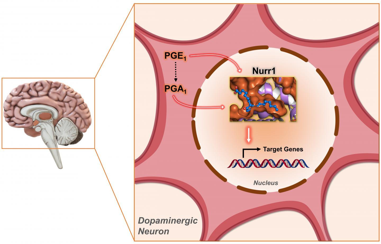 Researchers have found that a pair of molecules, called PGE1 and PGA1, bind to a class of proteins called Nurr1 to drive dopamine production in mice
