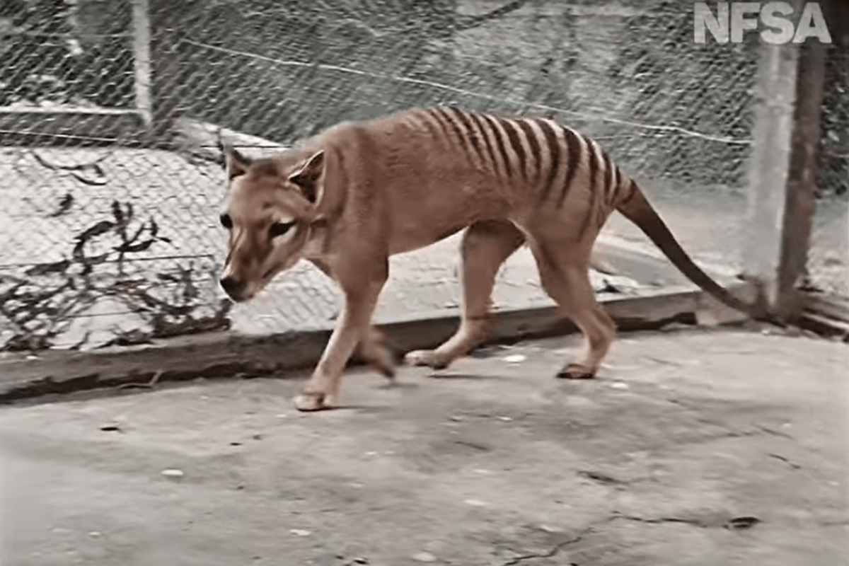 A still from newly-colorized video of Benjamin the thylacine, originally filmed in 1933
