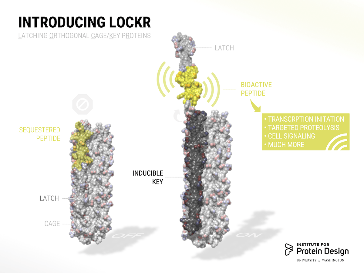 "When LOCKR is ""off"", the bioactive peptide is sequestered away. But when a molecule designated as a key is detected, the latch releases and the peptide goes to work"
