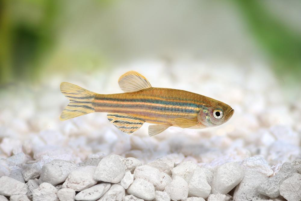 Scientists have found that animals such as the zebrafish are able to produce their own UV-protecting chemicals, possibly leading to improved sunscreens for humans (Photo: Shutterstock)