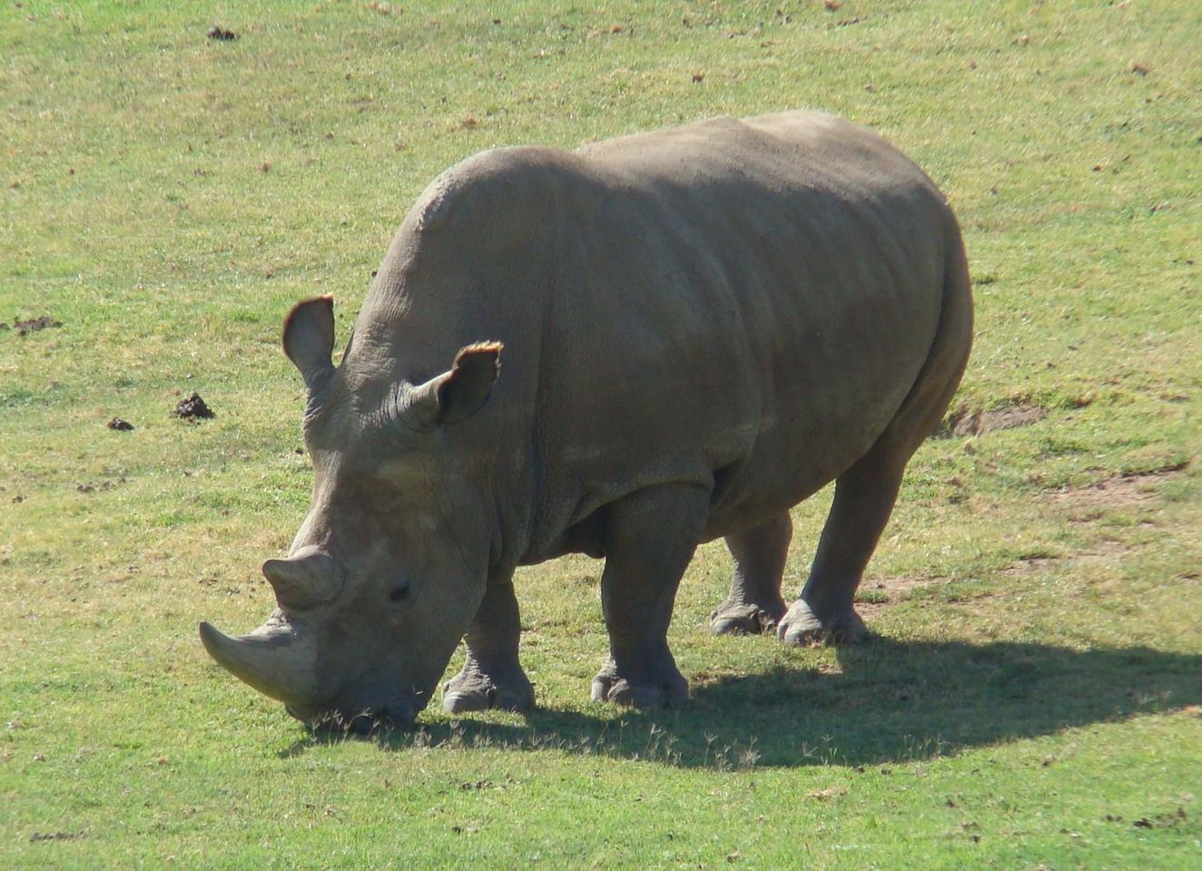 The researchers hope to develop IVF treatment for the rhinos, and eventually reprogram stored cells into stem cells to create a diverse new population
