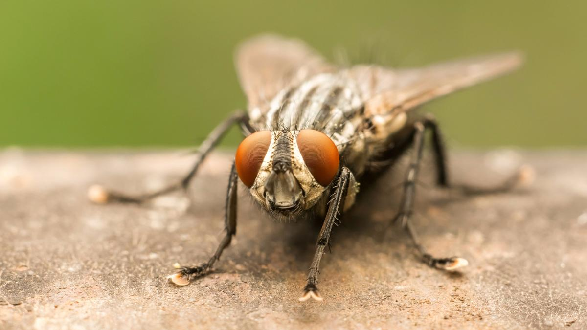 The bacteria-carrying capacity of flies may be worse than we thought, but new research suggests it could be harnessed for a positive use