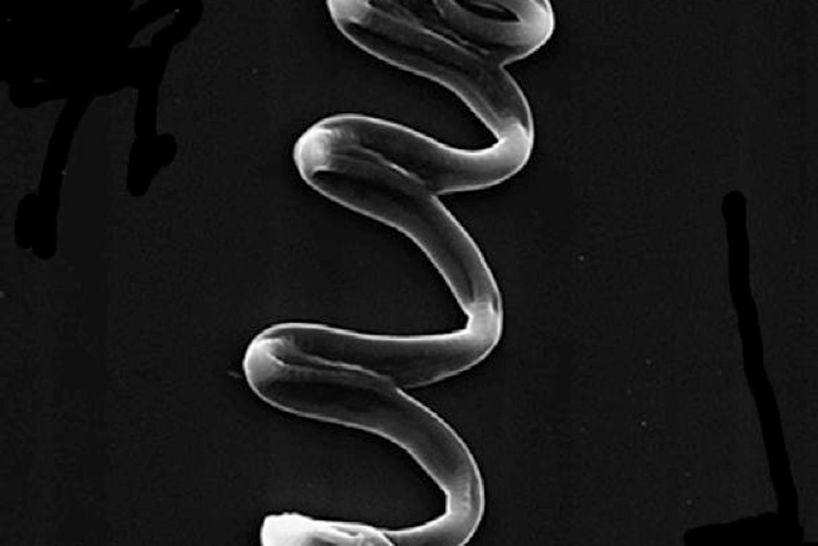 One of the Tel Aviv coiled heart tissue fibers