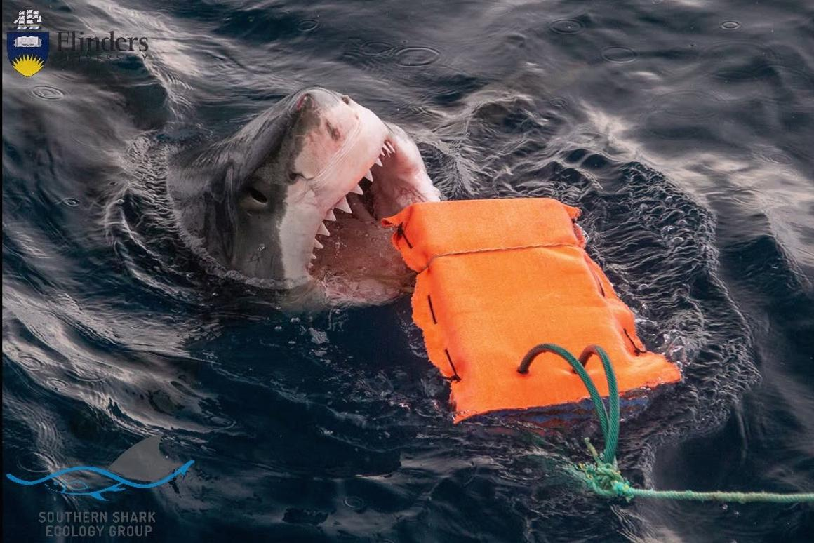 A great white goes after one of the testing rigs