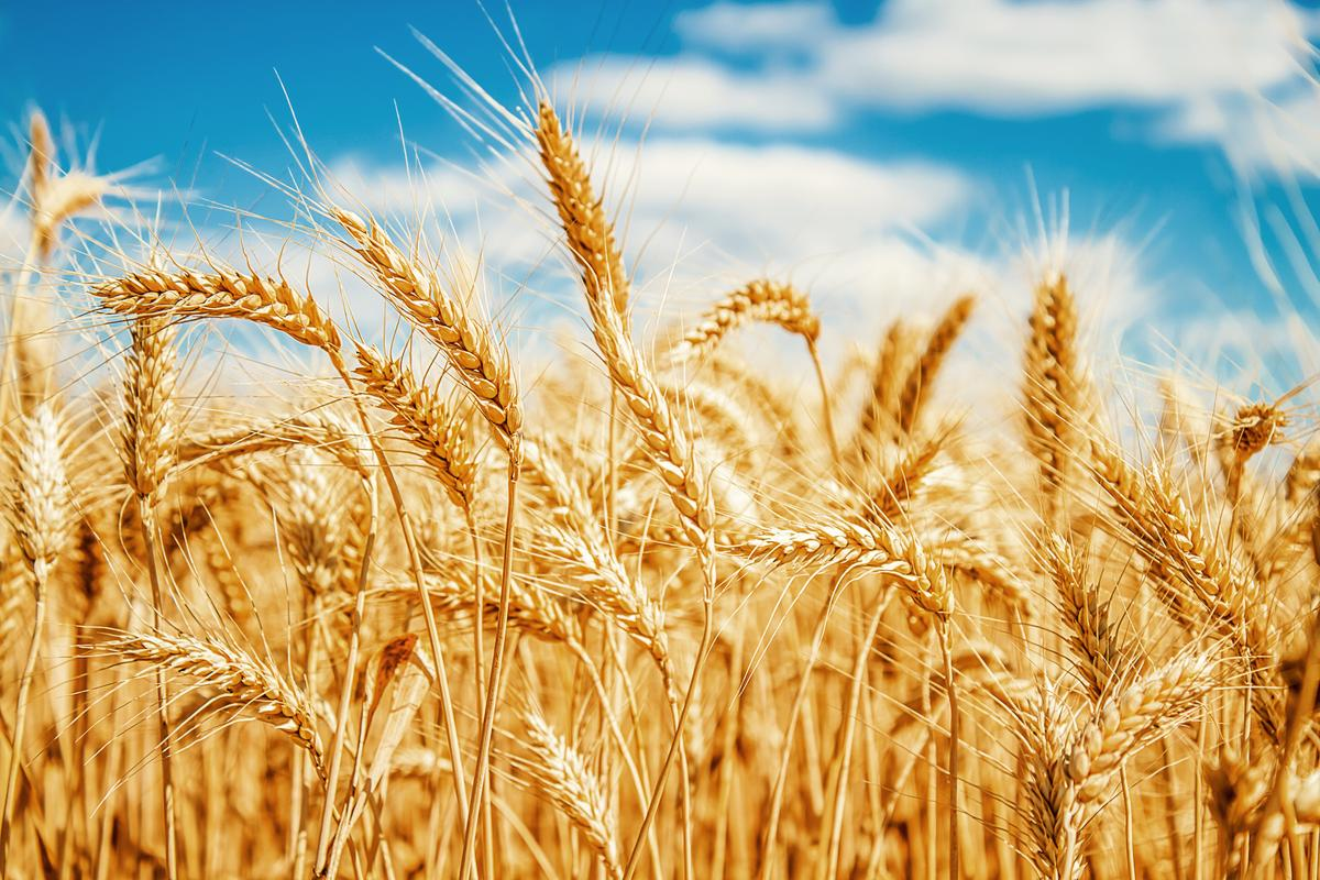 The massive achievement should accelerate research into the breeding of more resilient and higher yielding wheat crops