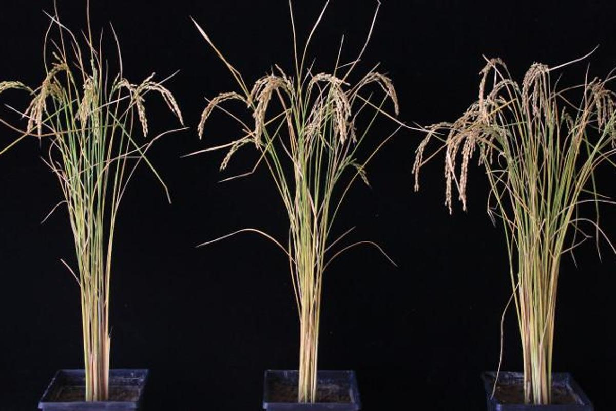 A rice plant that's had its RNA tinkered with (right) produces up to 50 percent more rice, compared to unmodified rice plants (left, center)