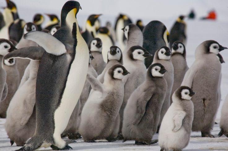 Emperor penguins (Aptenodytes forsteri) need sea ice to breed