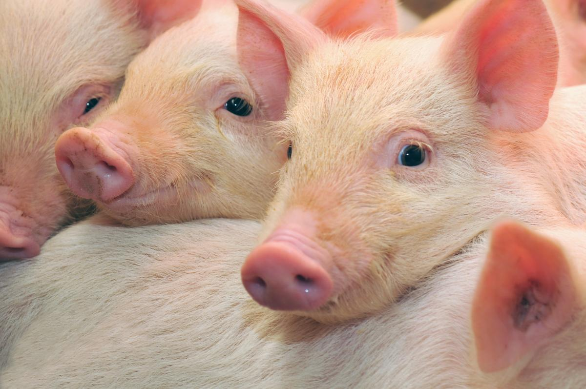 Researchers have used CRISPR to correct muscular dystrophy in pigs